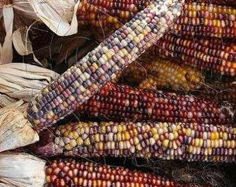VCOO)~NATIVE CORN~Seeds!!~~~Full Sized Ears~~~~Colors Galore for Autumn Decorating!!