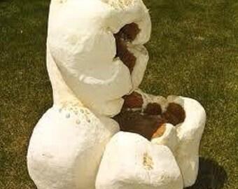 35 Mayan Giant White Corn Seeds-1246