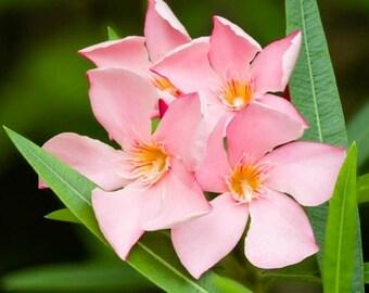 Nerium Oleander Tree, Pink Nerium Oleander, Tropical Nerium Oleander seeds, A Perfect Housewarming Gift