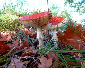 Fall Photo, Amanita muscaria, Nature Photography