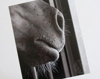 Photograph Print - Horse's Nose