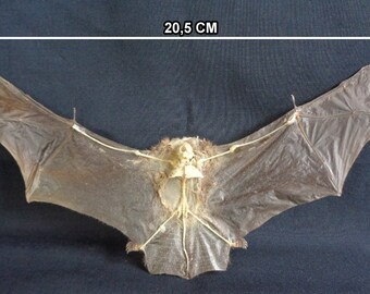 Chiroptera: Bat kerivoula pellucida half skeleton- spread