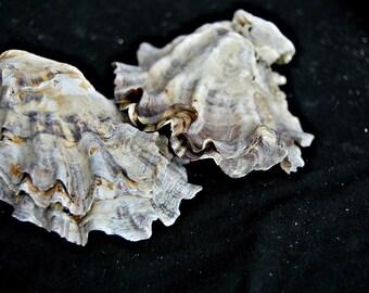 Oyster shells, set of 20 large shells. shells, shells supply, craft supply, nautical decor, beach decoration, natural shells ,
