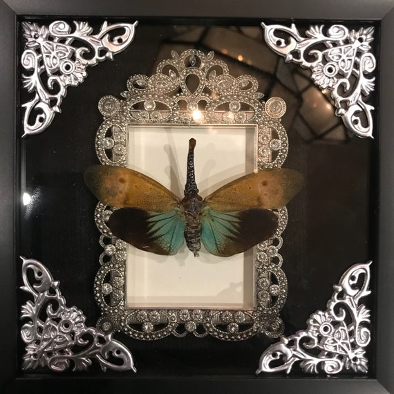 Red nosed lantern fly taxidermy display! Real!