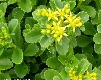 CSS) GOLD CARPET Sedum~Seed!!!!~~~~~~Splendid for Rock Gardens!