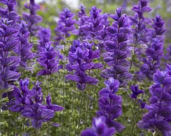 300  Salvia viridis , Painted Sage, Annual Clary Sage, Annual Clary,
