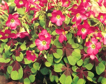 Oxalis Iron Cross Bulb Pink Flower Black Green Foliage Perennial Summer Bloom