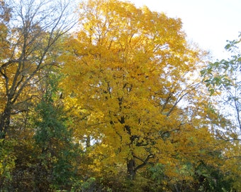 Fall Tree Photo, Autumn Photo, Fall Colors, Rural Photo, Country Photography