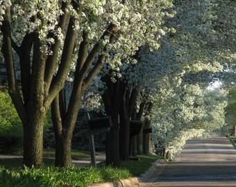 Shady Grove - Flowering Pear Trees Quiet Street Photo