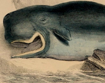 """1862.Antique print.Engraving hand colored.155 year old print.Museum of Natural History.CETACEAN,Narwhab,Cachalot.10.6x7"""",18x27 cm."""