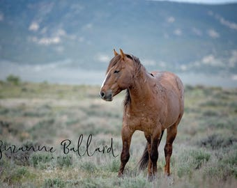 Sand Wash Basin wild mustang, Monte, Photography Print