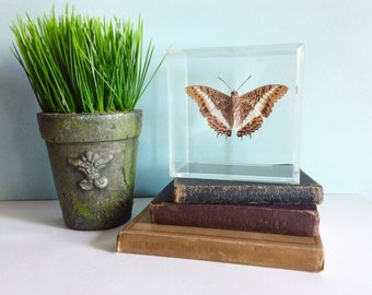 Vintage Taxidermy Butterfly, Specimen Butterfly, Mounted Preserved Butterfly in Lucite Box, Old 1950's Bufferfly Collection, Charaxes Brutus
