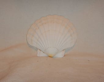 4 inch sea shell addition