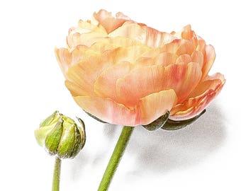 Peach Ranunculus Flower - Still Life Flowers - Fine Art Photography - Cheerful Mood - Botanical Print