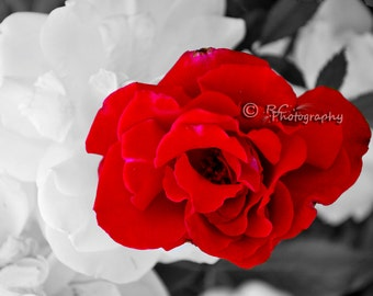 Beautiful White And Red Rose Photography, Rose Garden, Gift for Mom, Wall Decor