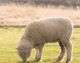 5x7 Sheep photography print