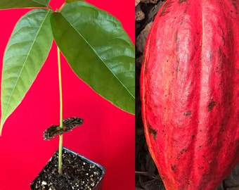 Red Pod Theobroma Cacao Cocoa Chocolate Tropical Fruit Tree Starter Potted Plant Seedling