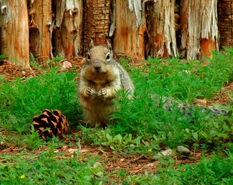 Squirrel with Pine Cone Fine Art Photography - Nature Photography - Woodland Forest Animal Photography - Squirrel Photo Home Wall Art Decor