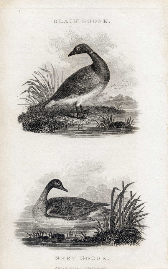 Black Goose and Grey Goose Antique Bird Print original 1801