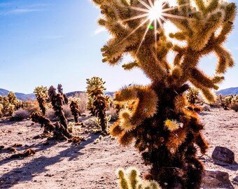 Sunstar Through the Jumping Teddy Bears in Joshua Tree