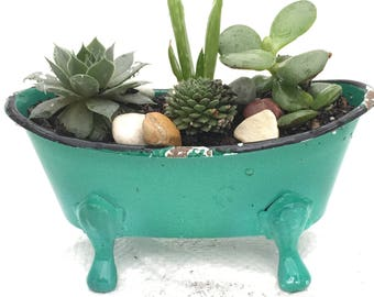 Live Succulents Bath tub, Houseplant, Indoor Plant, Live Plant Gift