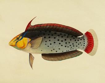 vintage fish illustration, vintage printable cottage chic home decor no. 1003