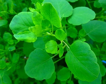 Papalo 100 Seeds - New Mexican Herb used like Cilantro - Porophyllum ruderale