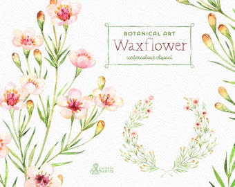 Waxflower. Botanical art. Watercolor Floral Elements, chamelaucium, wreath, blossom, branches, flowers, wedding invitation, australia, diy