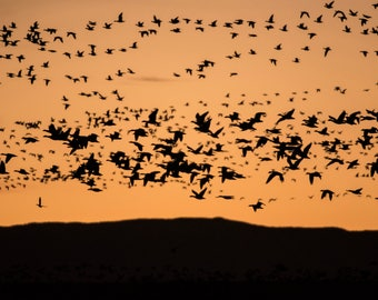 Bosque Del Apache I Photographic Print, landscape, nature, wildlife, birds, sunset