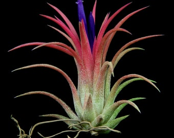 """Airplant/Tillandsia ionantha """"Rubra""""- Set of 5 Plants-Blushes Red When Blooming"""