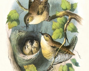 Vintage Image - Pair of WRENS feeding 5 BABIES in NEST - Digital Instant Download - nature ephemera collage supply