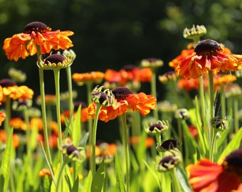 Orange Flowers Summer Garden Decor ~ Botanical Photography ~ Large Wall Art ~ Floral Nature Photography ~ Fine Art Photography ~ Home Decor