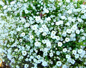 20 Gypsophila tenuifolia Seeds , Baby's Breath Seeds