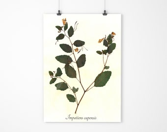 Jewelweed Real Pressed Botanical Specimen - Vintage Style Herbarium Art - Dried Plant Art
