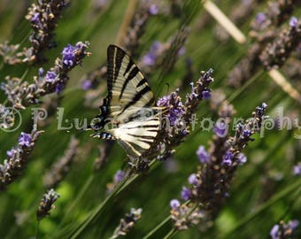 Swallow Tail on Lavender
