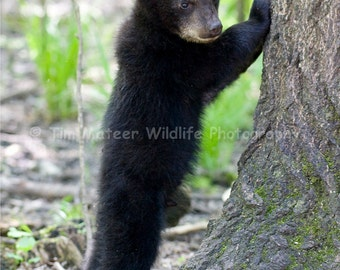 Black Bear Cub Peeing Photo