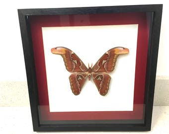 Attacus Atlas Moth/Butterfly/Insect/Taxidermy/Lepidoptera.
