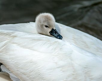 Wildlife Photographic signed mounted A4/A3 Prints of a Cygnet