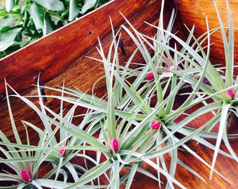 Tillandsia Aeranthos Stricta Air Plant  - Pink Bloom ~ 6 - 9 inches ~ No soil needed ~ May Not be in Bloom ~ Plant only