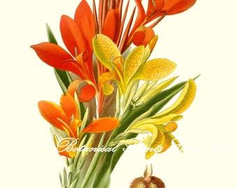 "Botanical Prints. Orange Flower Print.  Canna indica.   5x7"",  8x10"" 11x14"""