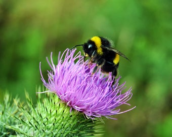 Bee on a Thistle | Nature Print | Art Print | Photo Print | Photography Print | Insect Photography | Bee Photo | Nature Photo | Thistle