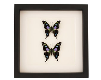 Double Framed Butterfly Mounted Shadowbox