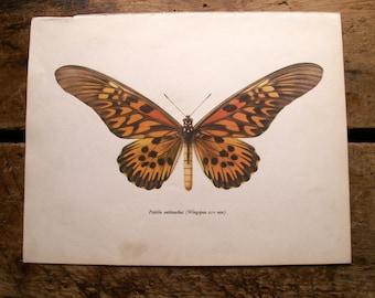 Vintage Brown Butterfly Botanical Print - Papilio Antimachus
