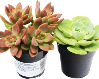 """Succulent Variety 2-Pack / All Different Species / 2"""" Pots / Live Home and Garden Plants"""