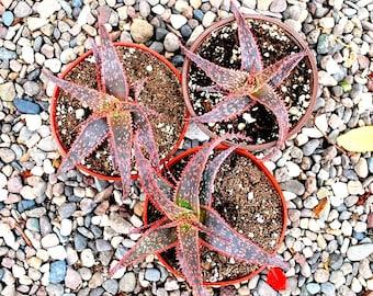Rare Beautiful Aloe 'Christmas Carol'