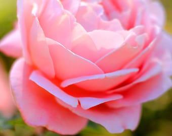 Dreamy Pink Rose - Garden Flower Photo Print - Size 8x10, 5x7, or 4x6