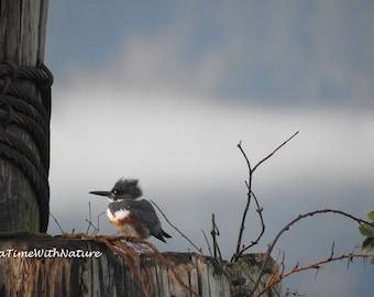 Belted Kingfisher - female - Digital Download