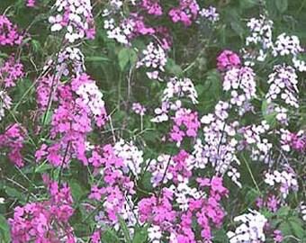 Dame's Rocket Flower Seeds/Hesperis Matronalis/Perennial   75+
