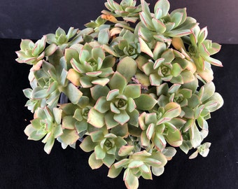 Aeonium Haworthii 'Pinwheel'