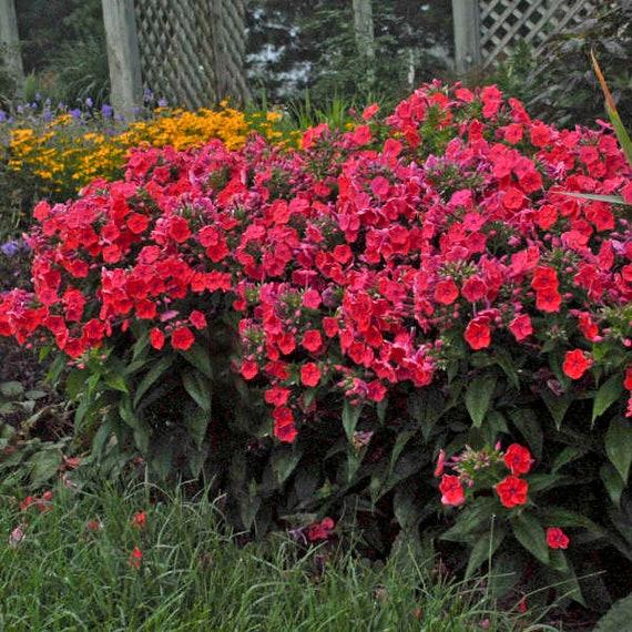 phlox flame red tall garden phlox perennial - Tall Garden Phlox